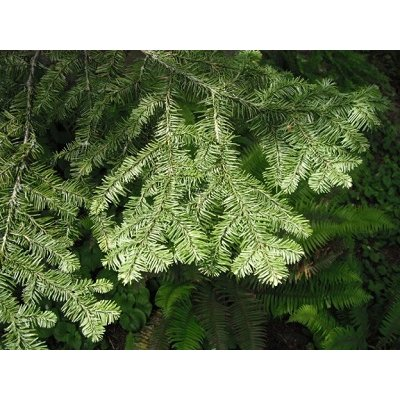 画像2: BIOヨーロッパモミ・ジェモレメディ・骨の強化、ミネラルバランスを促進 15ml (単体植物) Herbalgem /ハーバルジェム