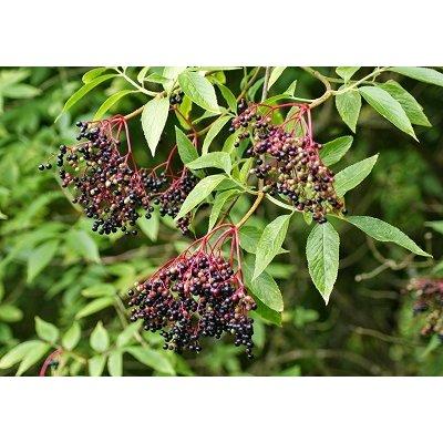 画像3: BIO西洋ニワトコ・ジェモレメディ・消化力の向上 50ml (単体植物) Herbalgem /ハーバルジェム