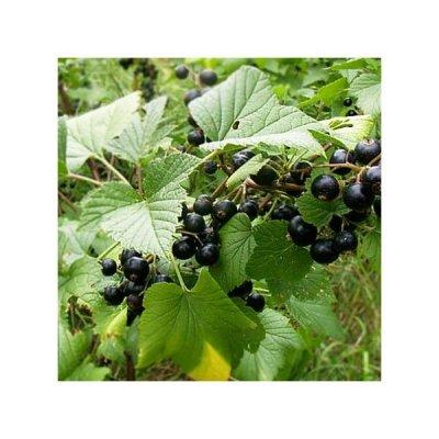 画像2: BIOカシスの葉 マザーティンクチャー 更年期やリウマチケアに 50ml Herbiolys / エルビオリス