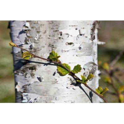 画像2: BIOシラカバ ジェモレメディ・体内浄化や関節痛ケアに 50ml (単体植物) Herbalgem /ハーバルジェム