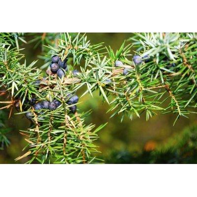 画像3: BIO西洋ネズ (ジュニパー) ジェモレメディ・肝臓・腎臓機能の向上に 50ml (単体植物) Herbalgem /ハーバルジェム
