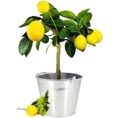 画像3: BIOレモン・ジェモレメディ・血流を改善、静脈りゅうのサポートに 50ml (単体植物) Herbalgem /ハーバルジェム