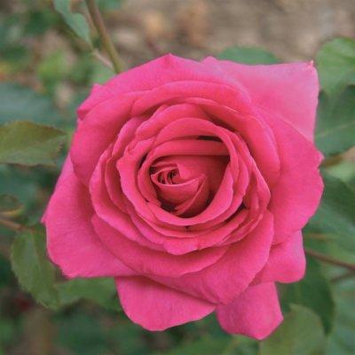 画像2: ダマスクローズBIO花びら メディカルハーブ・ リラックス、肌の鎮静に 50g Louis / ルイ