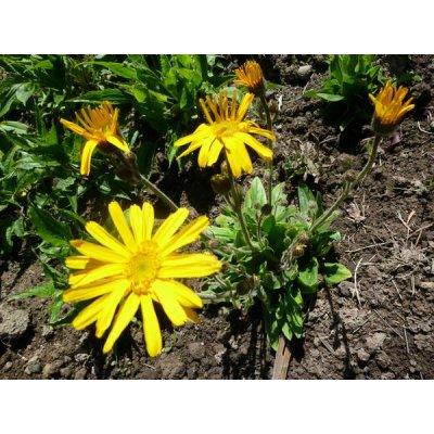 画像2: アルニカ ・エルビオリス BIO オイル 30ml (抗炎症、むくみのケアに) Herbiolys