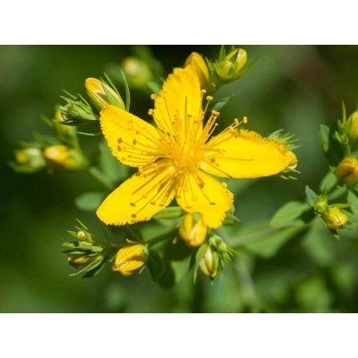 画像2: ハイペリカム(オトギリソウ)  エルビオリス BIO オイル 30ml (鎮静に) Herbiolys