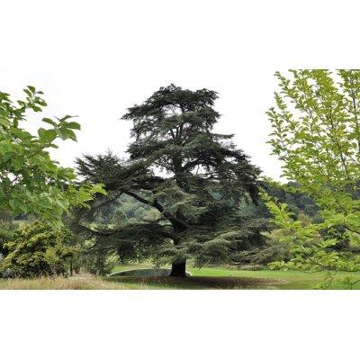画像2: 【ジェモレメディ】BIOレバノン杉・湿疹や乾癬のケアに 50ml (単体植物) Herbiolys / エルビオリス