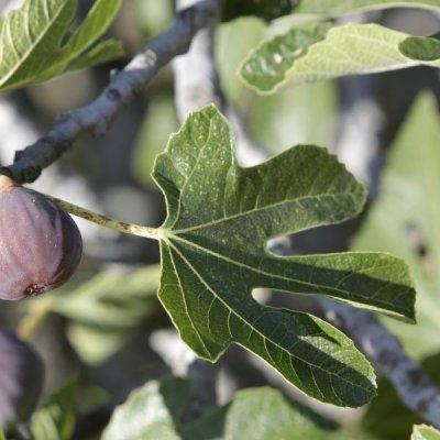 画像2: 【ジェモレメディ】BIOイチヂク・不眠症やストレス緩和に 50ml (単体植物) Herbiolys / エルビオリス