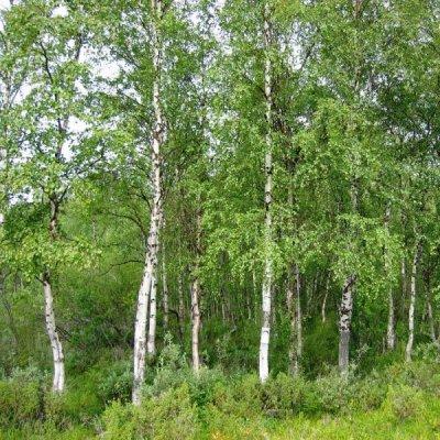 画像2: 【ジェモレメディ】BIOシラカバ・骨や関節の強化に 50ml (単体植物) Herbiolys / エルビオリス