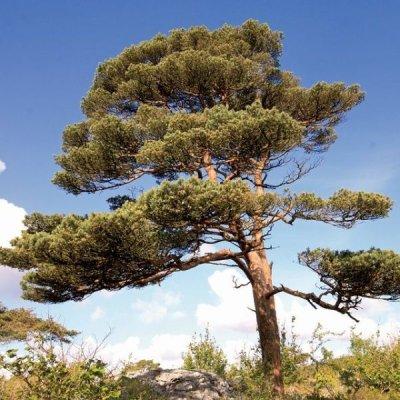 画像2: 【ジェモレメディ】BIOヨーロッパアカマツ・呼吸器疾患緩和に 50ml (単体植物) Herbiolys / エルビオリス