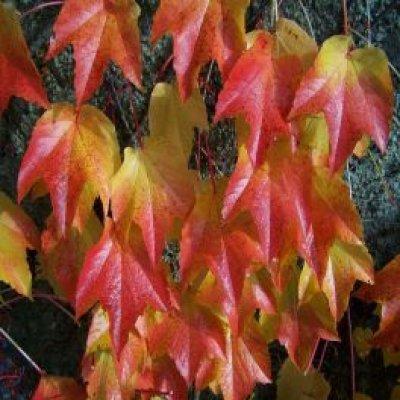 画像2: 【ジェモレメディ】BIOアメリカヅタ・関節やリウマチのケアに 50ml (単体植物) Herbiolys / エルビオリス