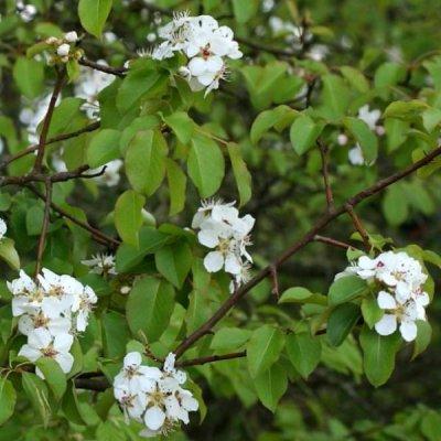 画像2: 【ジェモレメディ】BIO西洋ナシ・前立腺 50ml (単体植物) Herbiolys / エルビオリス