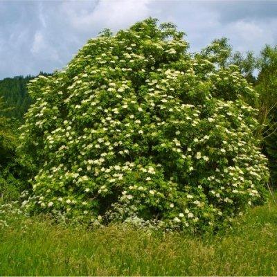 画像2: 【ジェモレメディ】BIO西洋ニワトコ・消化促進や結石排除サポートに 50ml (単体植物) Herbiolys / エルビオリス