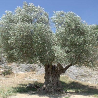 画像3: 【ジェモレメディ】BIOオリーブ 血圧とコレステロール値を安定化 50ml (単体植物) Herbiolys / エルビオリス