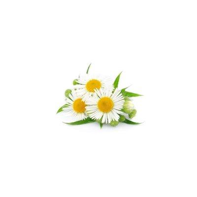 画像2: 精油 カモミール・ローマン BIO 1ml Primavera / プリマヴェーラ
