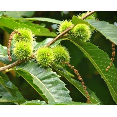 画像2: BIOヨーロッパグリ・ジェモレメディ・静脈りゅうやセルライトケアに 50ml (単体植物) Herbalgem /ハーバルジェム