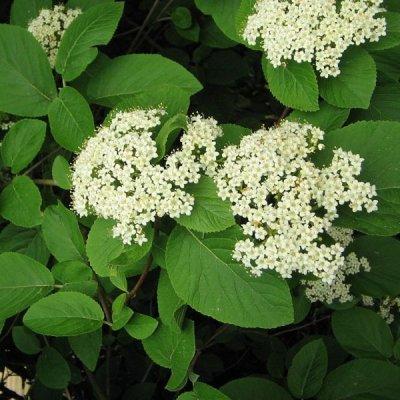画像3: BIOランタナガマズミ・ジェモレメディ 喘息や皮膚疾患対策に 50ml (単体植物) Herbalgem /ハーバルジェム