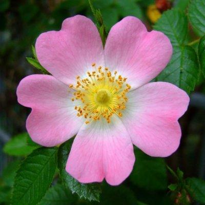 画像2: BIOイヌバラ(ドッグローズ)花 マザーティンクチャー ビタミンC補給 50ml Herbiolys / エルビオリス