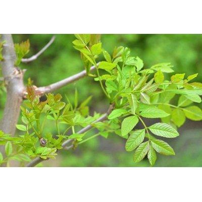 画像3: BIO西洋トネリコ・ジェモレメディ・関節疾患やむくみ、痛風対策に 50ml (単体植物) Herbalgem /ハーバルジェム
