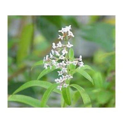 画像2: BIOレモンバーベナ マザーティンクチャー リラックスや消化促進に 50ml Herbiolys / エルビオリス