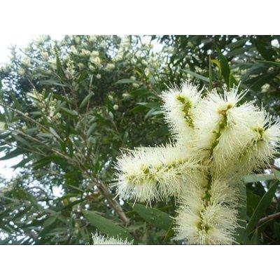 画像2: BIOニアウリ・シネオール精油 10ml Pranarom / プラナロム