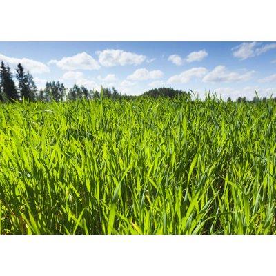 画像2: 【ジェモレメディ】BIOライムギ・浄化とむくみ解消に 50ml (単体植物) Herbiolys / エルビオリス